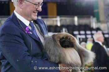 Prime Peke! Wasabi the Pekingese wins Westminster dog show - Ashcroft Cache Creek Journal