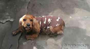Los Olivos: familia busca a Doky, su perrito desaparecido - LaRepública.pe