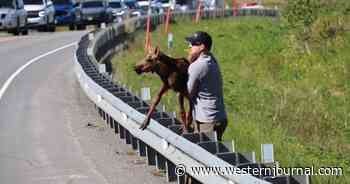 Alaska Man Steps in After Baby Moose Causes Traffic Jam Trying to Reach Its Mother