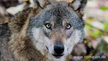 Drohneneinsatz mit Folgen: Wolf entdeckt und Kitze gerttet - Meinerzhagener Zeitung