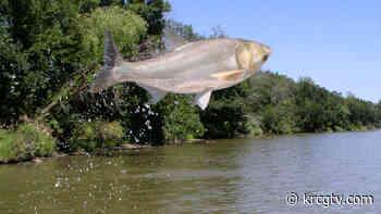 MU scientist helping in invasive carp study - krcgtv.com