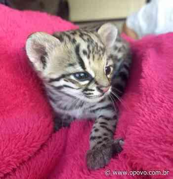 Filhote de jaguatirica é resgatado em Nova Russas - O POVO