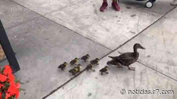 Família de patos é vista passeando por avenidas de Nova York - HORA 7