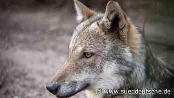 Weiterer Wolfsnachweis in NRW: Tier kommt aus Bayern - Süddeutsche Zeitung