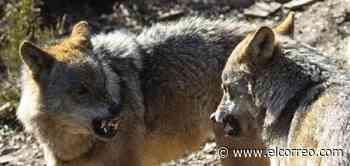 Ribera anuncia que prohibirá cazar lobos antes del 25 de septiembre - El Correo