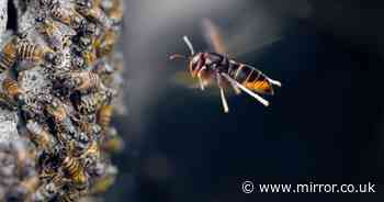 Asian hornets spotted across Britain - and here's what to do if you see one