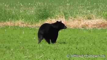 Bear takes Sunday morning stroll in Stittsville field - CTV Edmonton