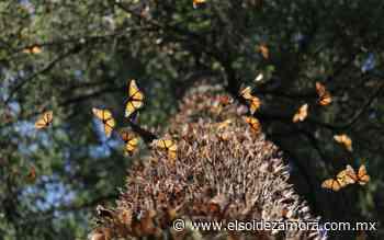 Piden ayuda a AMLO por plaga en santuario de mariposa monarca - El Sol de Zamora