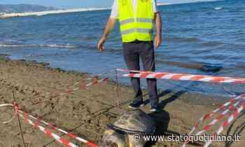 Manfredonia, tartaruga trovata morta sulla spiaggia del lido Bonomo - StatoQuotidiano.it