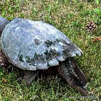 'Amazing:' Mama snapping turtle fascinates Whitby residents - Toronto Star