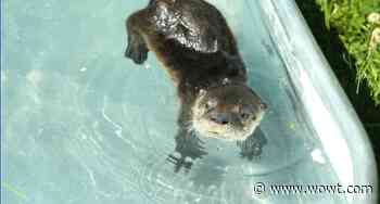 Rare care: Nebraska Wildlife Rehab looking after baby river otter - WOWT