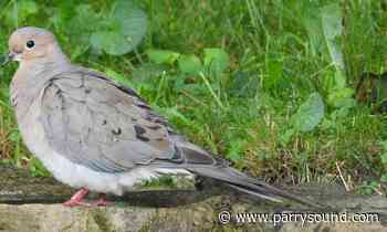 Can you find a Mourning Dove in Parry Sound as part of Bob's Bird Search? - parrysound.com