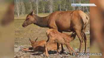 Staying safe during elk calving season in Alberta