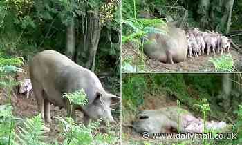 Pregnant pig saves her own bacon by escaping from farm before giving birth to 10 piglets in woods