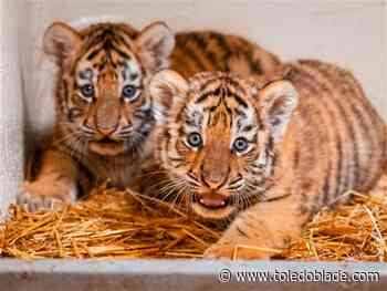 Toledo Zoo launches naming contest, donation drive for tiger cubs