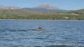 Paddleboarders Stay Safe Distance From 'The Michael Phelps Of Moose' In Dillon Reservoir - CBS Denver