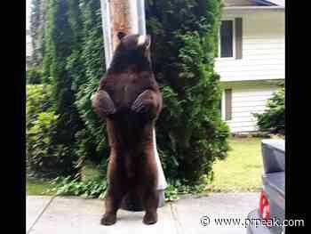 Big brown bear in Coquitlam poses for photos - Powell River Peak