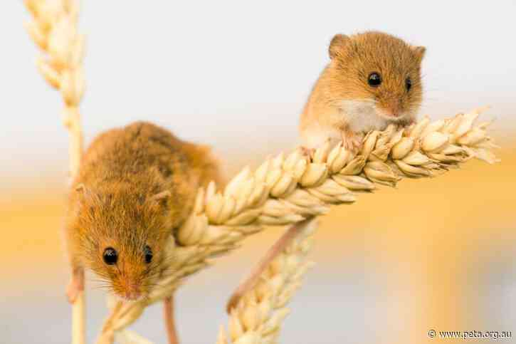 Update: NSW Government Invests in Mice Control