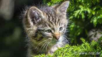 Erster Arztbesuch im Tierpark Nordhorn: Knuddel-süß, aber kratzbürstig: Kleine Wildkatzen bekommen bald Namen - NOZ