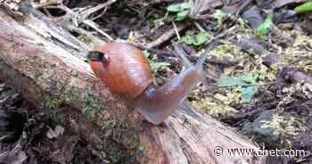 How one snail species survived a nasty predator's killing spree     - CNET