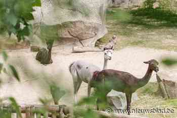 Alpaca's verhuizen van Planckendael naar Antwerpen - Het Nieuwsblad