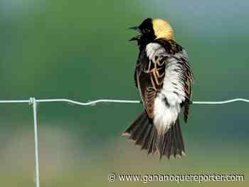 BIRDWATCH: Bobolinks back in Renfrew County - Gananoque Reporter