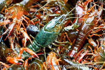 Antidepressant Traces in Rivers Made Crayfishes More Aggressive - Nature World News