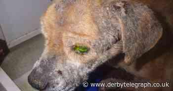 Derby dog owner neglected elderly terrier found cowering under a bush in the dirt - Derbyshire Live