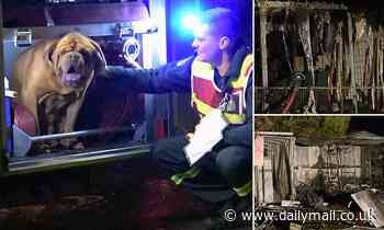 Heartwarming moment beloved 'gentle giant' seeks shelter in a truck after home sets alight in ACT