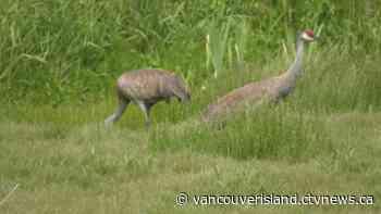 Greater Victoria birdwatchers flock to Saanich wetland to eye rare cranes - CTV News VI