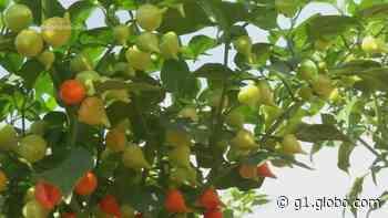 Agricultor investe no cultivo de pimentas em Ariquemes, RO, e passa a vender para o AM - G1