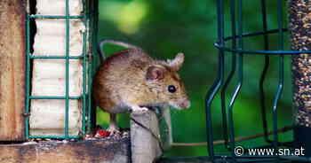 Das Vogelfutter mundet auch der Maus in Zell am See | Schöne Heimat Fotoblog SN.at - Salzburger Nachrichten
