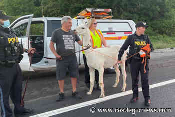 VIDEO: Llama on the loose near Ontario highway reunited with owners - Castlegar News