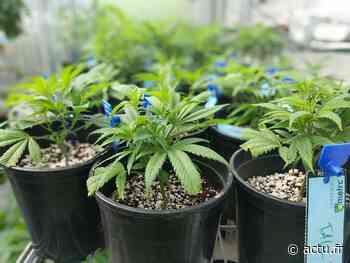 Des gendarmes cultivateurs de plants de cannabis dans le Puy-de-Dôme - actu.fr