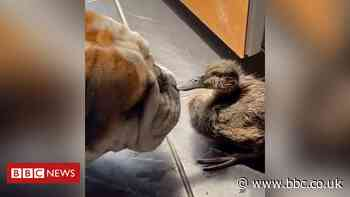 Boris and Doris: Dog and duckling forge unlikely friendship