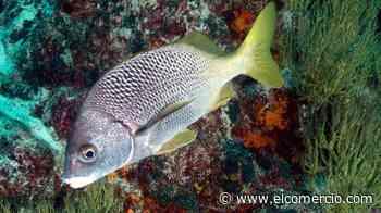 Descubren dos nuevas especies de peces en Galápagos y Pacífico Este Tropical - El Comercio (Ecuador)