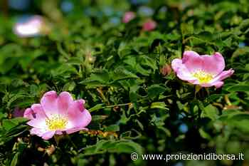 Questa crema di bellezza alle rose si prepara in casa in poco tempo - Proiezioni di Borsa