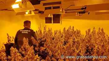 La Guardia Civil incauta tres mil plantas de cannabis en Granada - Granada Hoy