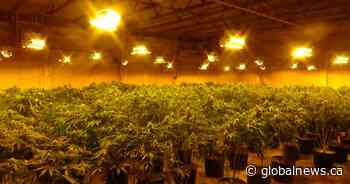 Multi-million dollar cannabis grow-op busted by OPP in Quinte West, Ont. - Global News