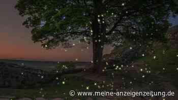 Glühwürmchen: Wo Tierfans die Leuchtkäfer in der Natur beobachten können