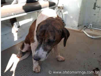 Fiscalização registra mais uma situação de maus tratos a animal em Mandaguari - O FATO MARINGÁ - AGÊNCIA DE NOTÍCIAS ONLINE