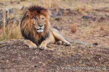 Scarface the Lion dies, aged 14
