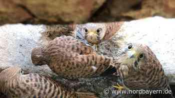 Happy ohne Nest: Fünf kleine Falken über Schwabacher Laden - Nordbayern.de