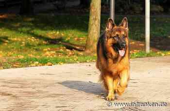Allein auf Erkundungstour: Ausgebüxter Schäferhund hält Schwabach auf Trab - inFranken.de