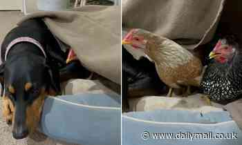 Pet owner finds his dog Bella snuggling up to two chickens - Daily Mail