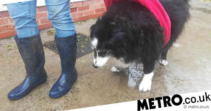 Obese border collie needs your help to get healthy