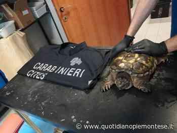 La Tartaruga azzannatrice trovata a Collegno ha una nuova casa - Quotidiano Piemontese