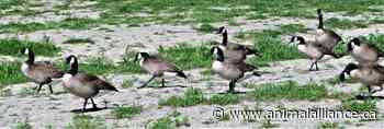 Victory!  Canada Geese in Vernon safe for this summer