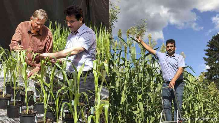 Sweet sorghum: Sweet promise for the environment