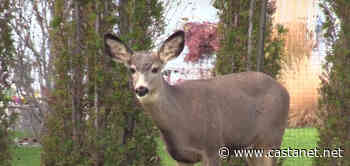 Penticton couple warns of 'aggressive' deer in Dauphin Avenue area after wife is charged at multiple times - Penticton News - Castanet.net